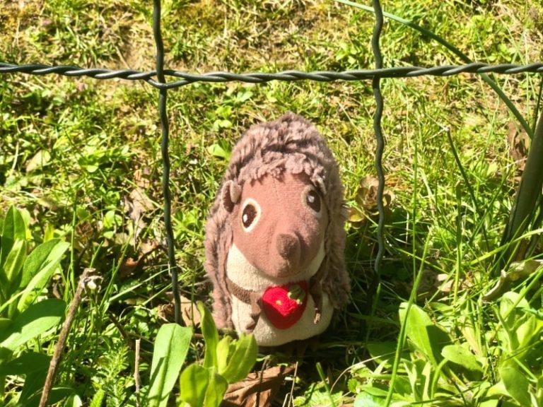 Paula Igel im Garten nach dem Winterschlaf 5