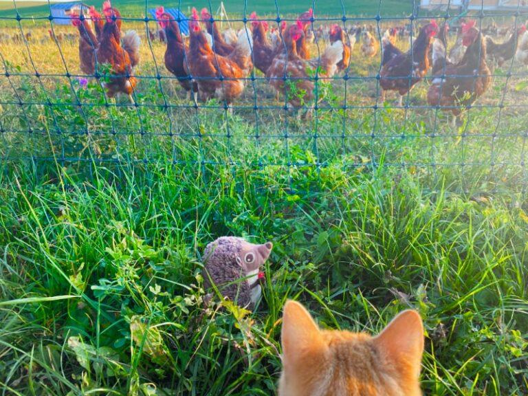 Paula Igel auf dem Bauernhof Hühner