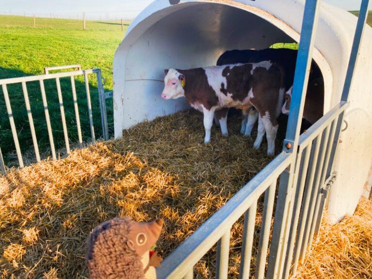 Paula Igel auf dem Bauernhof Kälbchen