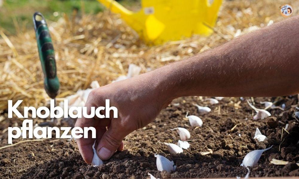 Knoblauch pflanzen anbauen