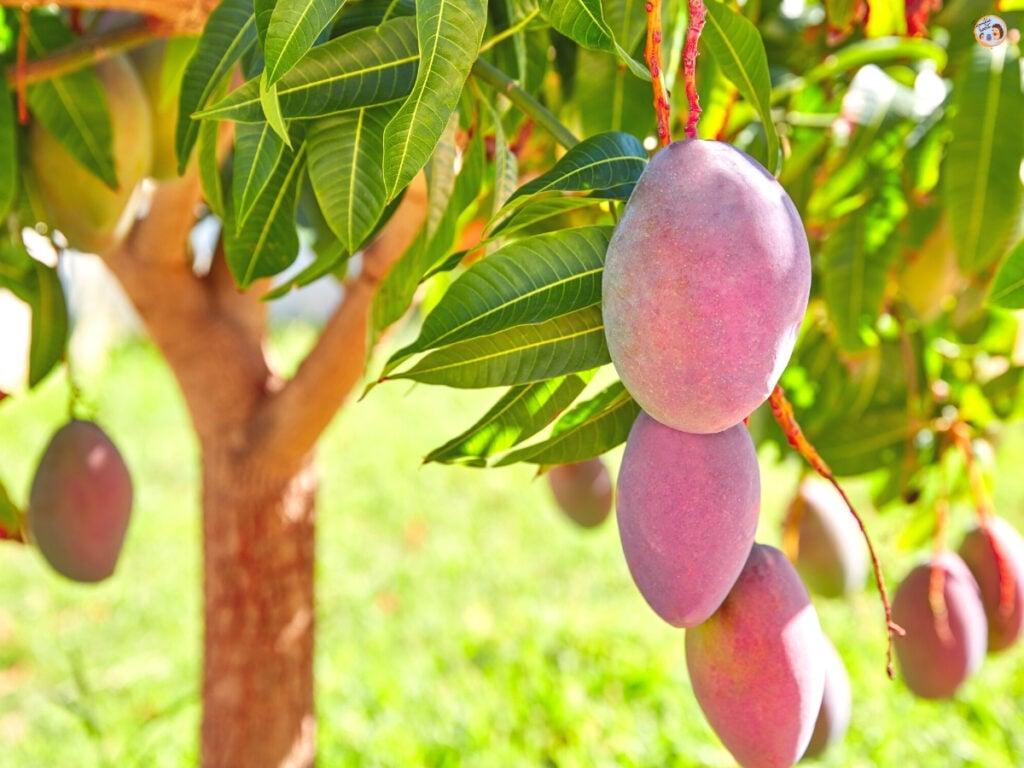 Mango Lassi