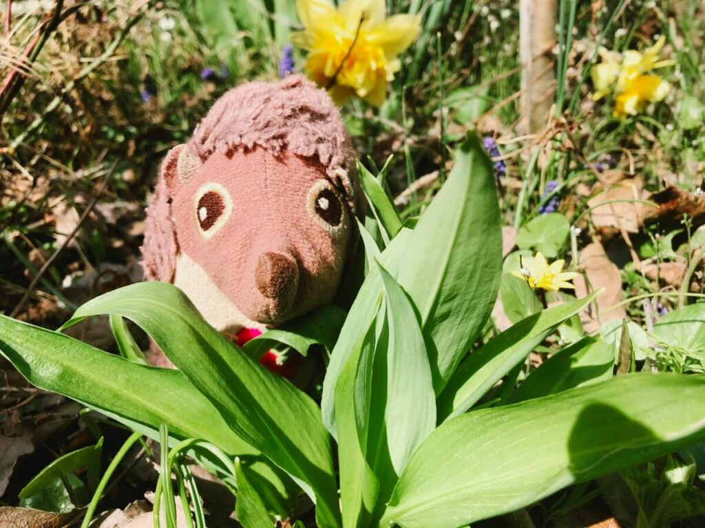 Bärlauch aus dem Garten